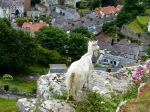 Goat First we take Llandudno 2 26.6.15 - Copy