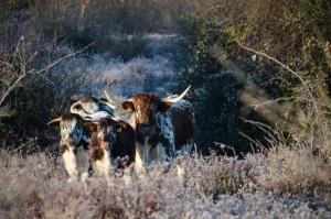 Knepp winter long horns 2 - Copy