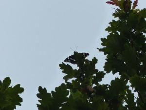PE m high on oak Knepp 12.7.15 - Copy
