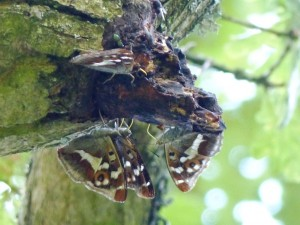 PE x 4 close up on oak sap Knepp 16.7.15 - Copy