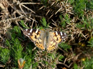 PL m 3 on gorse Holnicote 15.6.15 - Copy