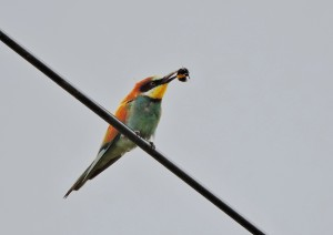 bee-eater and bee